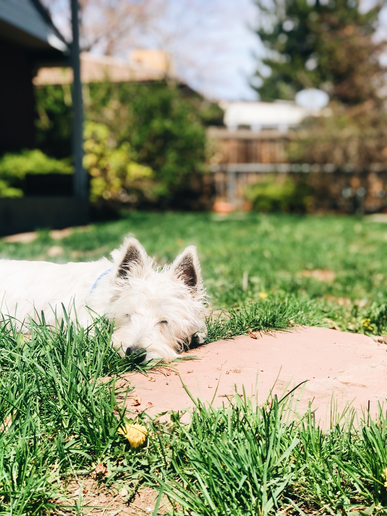 Mozi sleeping in our new backyard