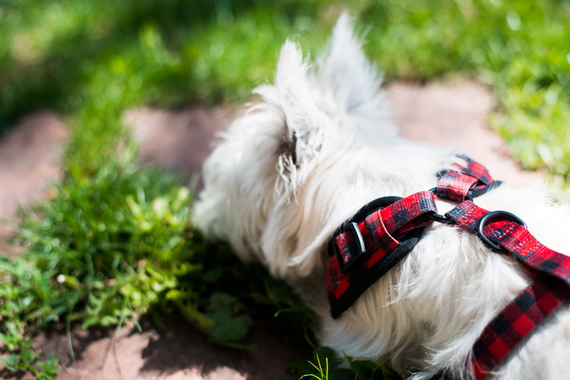 Mozi, The Westie, sleeping the grass at 6 months