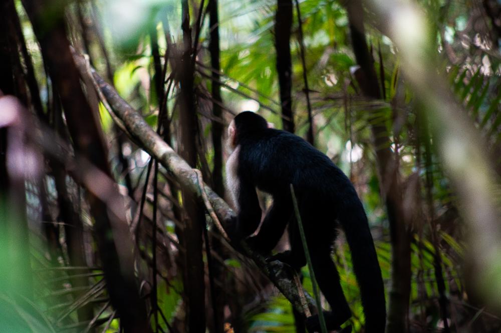 Capuchin Monkey's in Costa Rica
